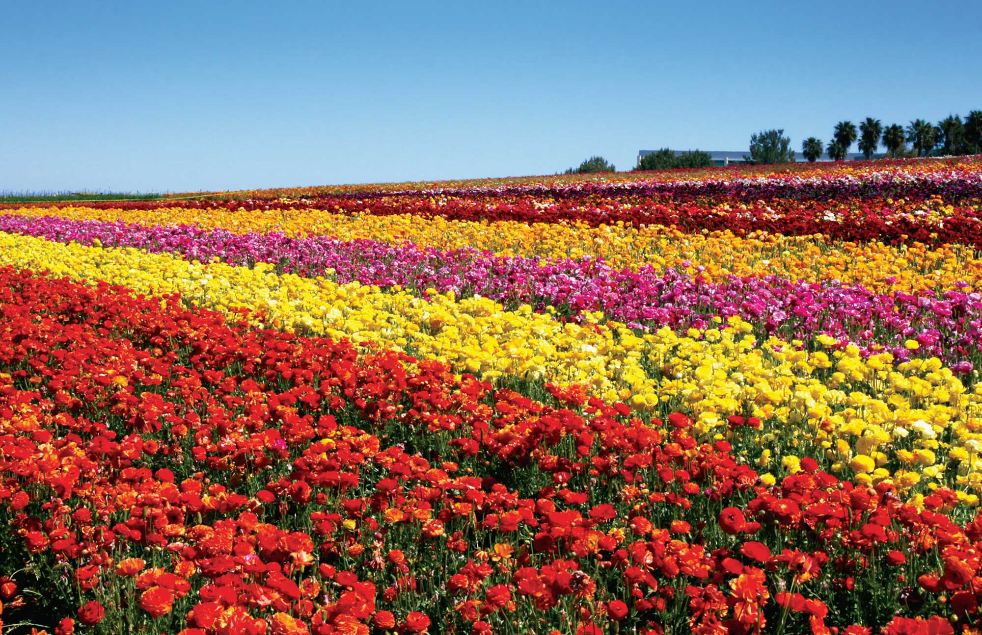 Pictures Of Fresh Flower Fields 30